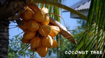 Cocotier à la Villa Mango's
