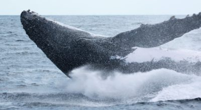 Une baleine vu grâce au Grand Bleu