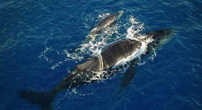 Une baleine et son baleineau avec le Grand Bleu